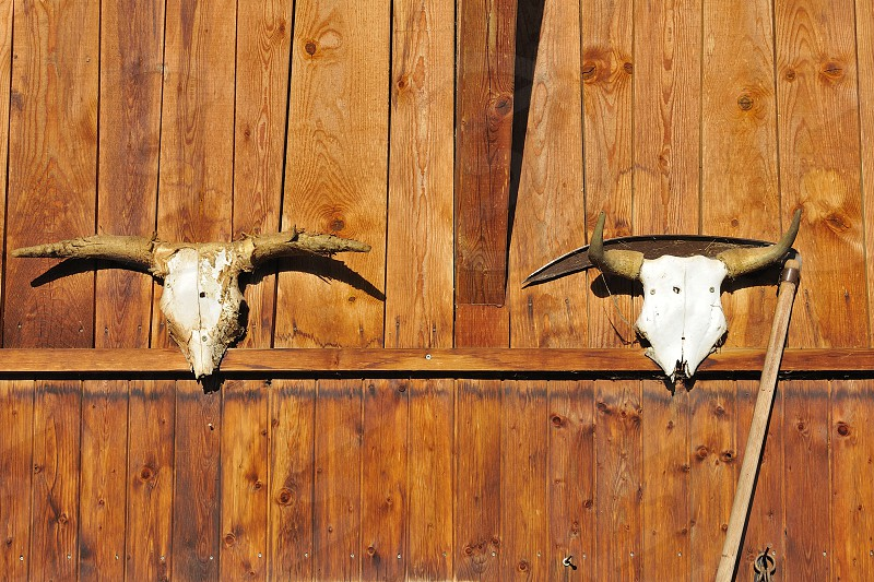 Cow skulls in a farm Italy photo