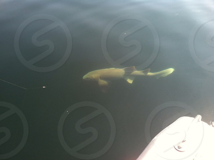 6 ft nurse shark off shore of Hilton Head photo