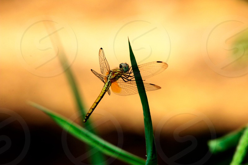 yellow and black darner dragonfly on green leaf plant photo