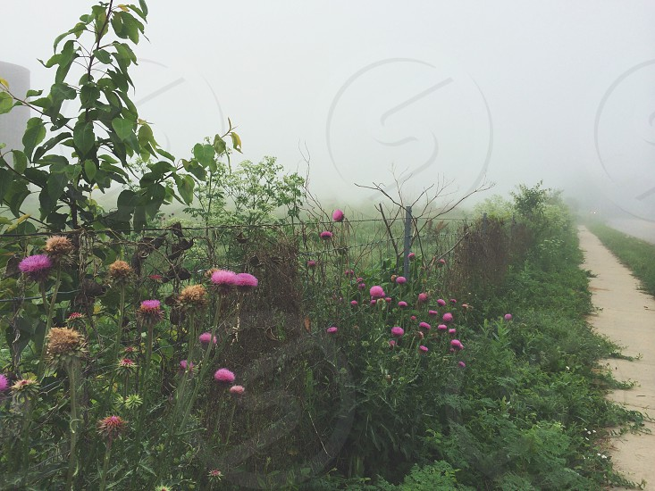 fog foggy morning foggy path thistles thistles in fog photo