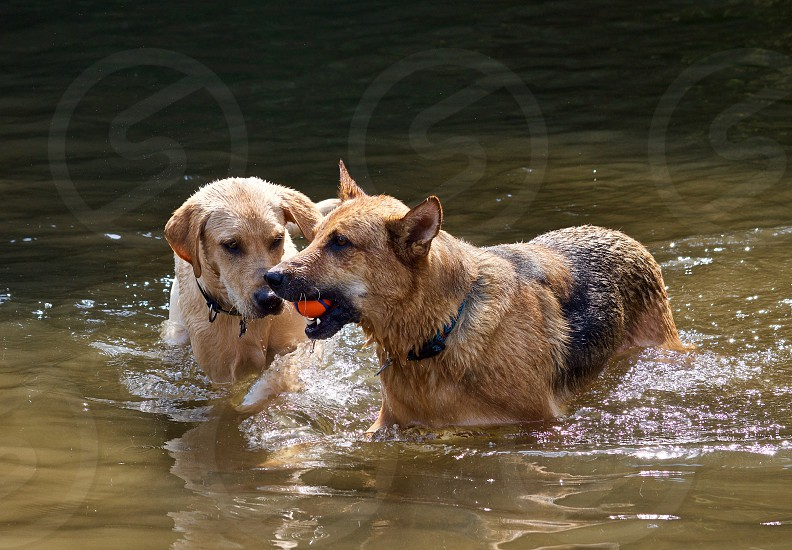 labrador retriever and german shepherd playing in a creek in summertime photo