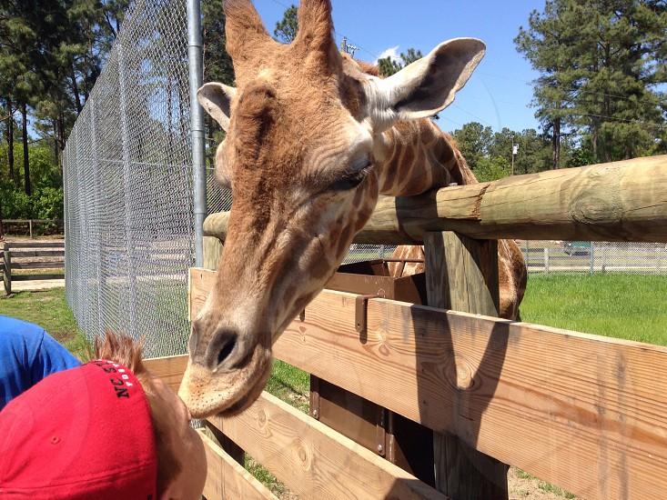 Stretch a rescued giraffe photo