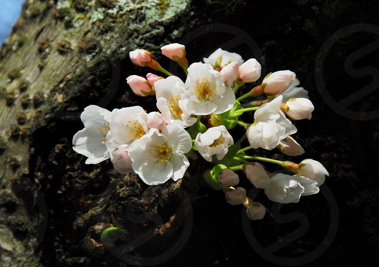 Cherry Blossoms in the spring. photo