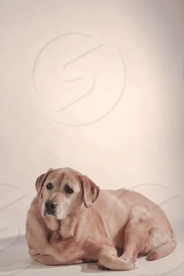 #pet #dog #lab photo