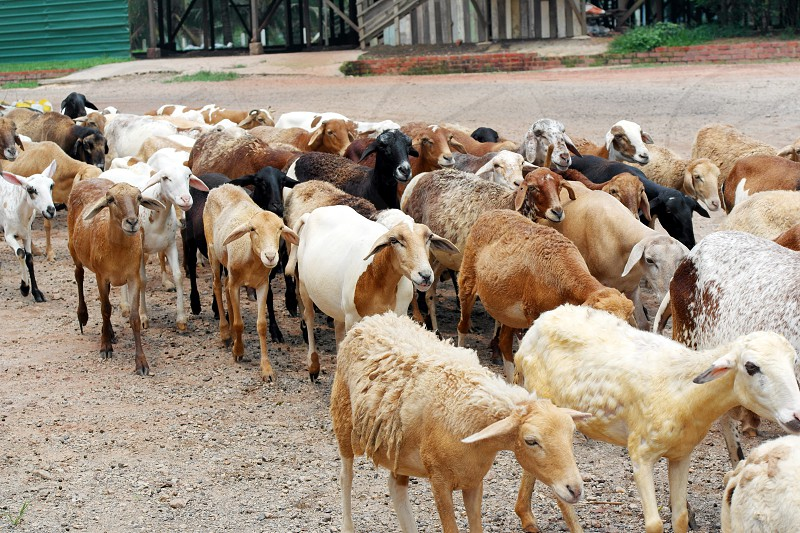 animal photography of group of goats on soil photo