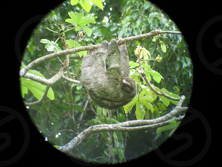 A rare smile from the sloth in Costa Rica in a national park... photo