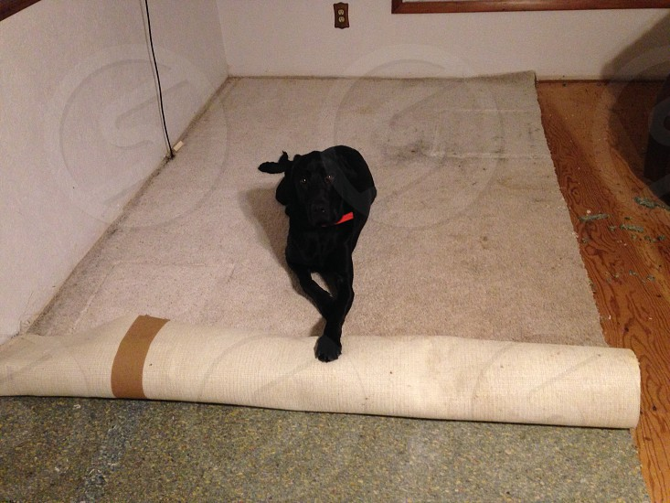 Thor didn't want to replace the carpet.  He finally put his paw down! photo