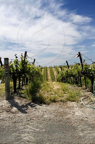 A blue sky and Napa Valley vineyard. photo