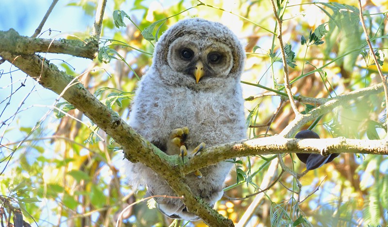 Baby owls in the woods Orlando Fl photo