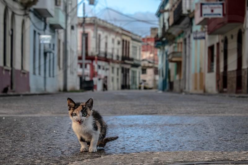 Cat gato Havana Cuba  photo