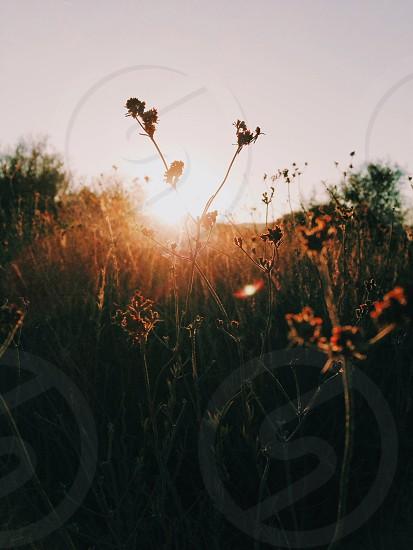 sunrise over flower field photo