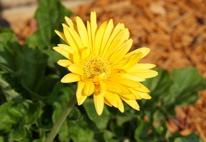 Flower Gerbera Daisy photo