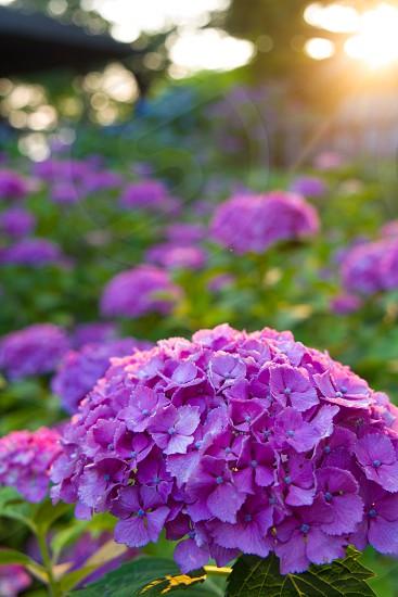 紫陽花 あじさい hydrangea photo