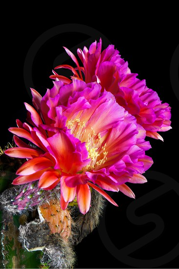 An Echinopsis Hybrid Trichocereus Hybrid commonly known as a Flying Saucer. Two pink night blooming cactus flowers against a black night sky.  Shriveled remains of previous blooms are below the current blooms. photo