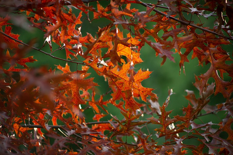 The sun shines on some autumn colored leaves in a tree. photo