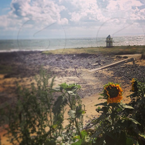 Sunflower in the sand photo