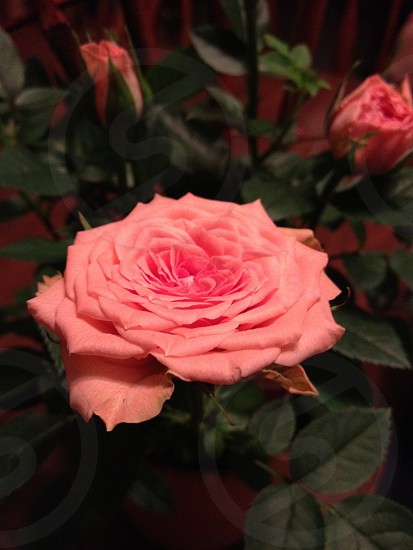 Small pink bloomed petite rose photo