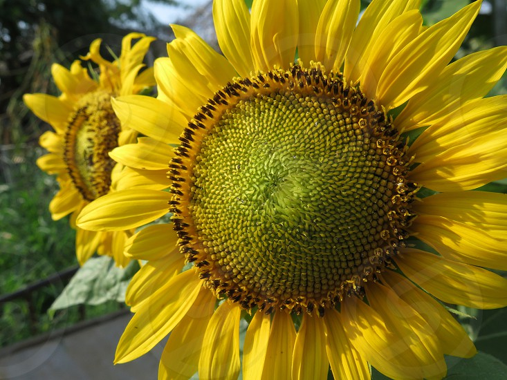 Close up view of two sunflower in a garden in Indonesia. flower beauty in nature no people horizontal day color photo