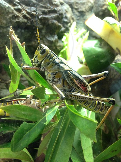 eastern lubber grasshopper on green leaf photo