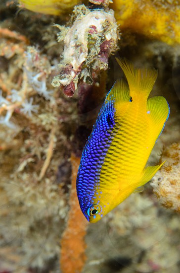 A beautiful damselfish on a Florida reef. photo