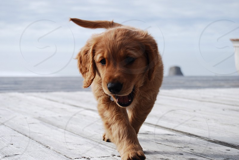 brown long haired small dog walking photo