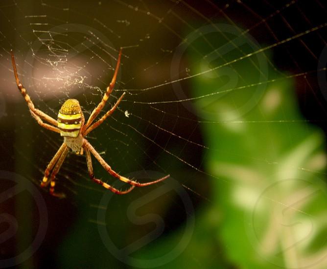 Australian spider Sydney  photo