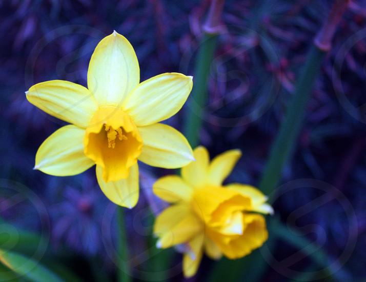 Flower daffodil yellow  photo