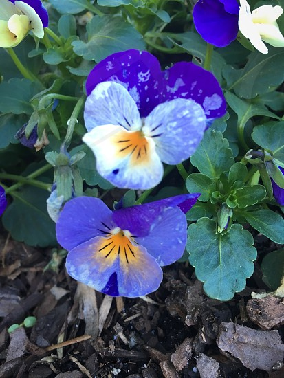 Flower Violet Nature Purple Plant photo