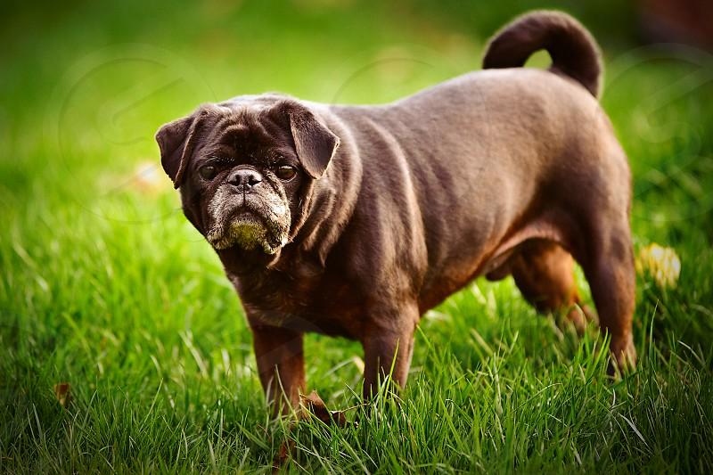 Older black pug.  photo