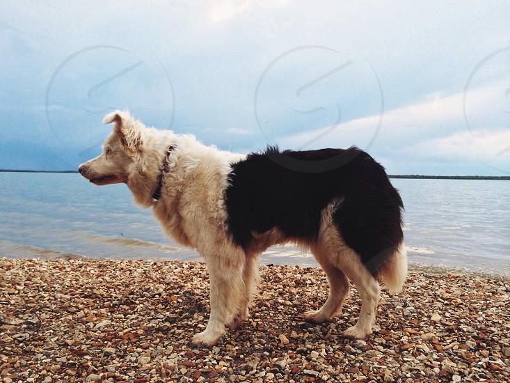 white and black long haired medium sized dog photo
