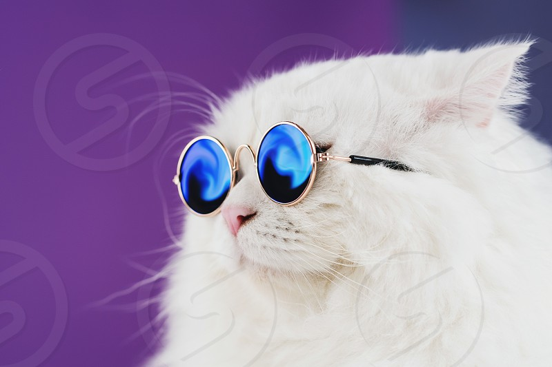 Close portrait of white furry cat in fashion sunglasses. Studio photo. Luxurious domestic kitty in glasses poses on purple background wall. photo