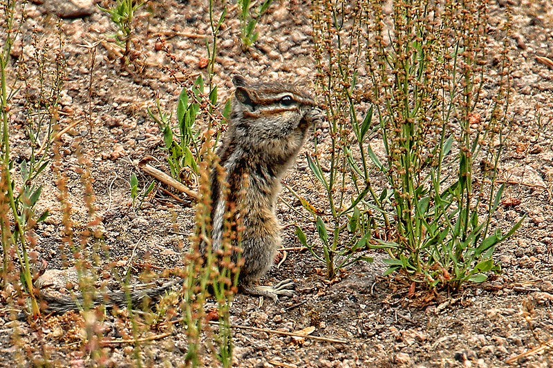 Close-up of a chipmunk nibbling on seeds. photo