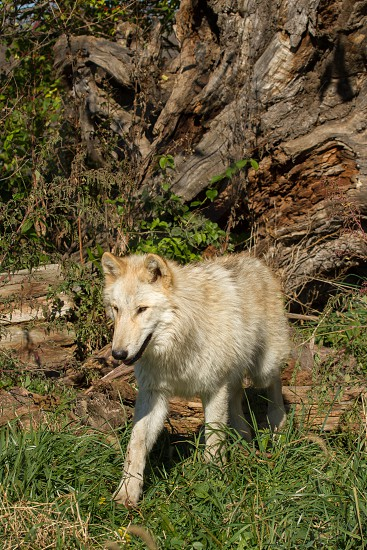A wolf walking through the undergrowth photo