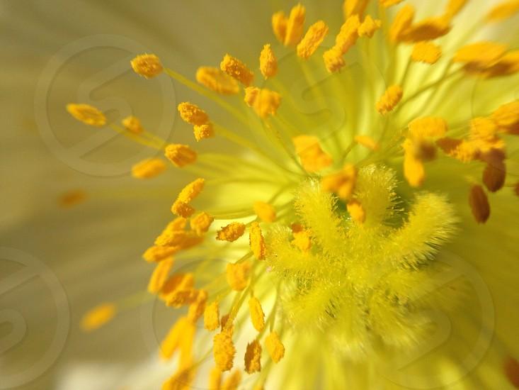 yellow dandelions macro photography photo