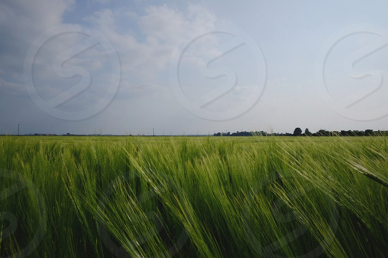 Field meadow grass crops blue sky nature calm fluffy clouds white clouds natural  photo