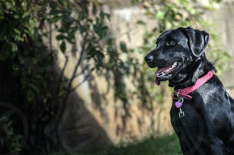 Black Labrador colour photograph photo