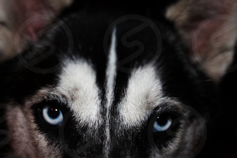 Husky animal dog photo