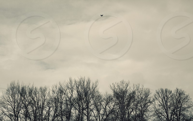 Conceptual composition about loneliness one bird fly alone over the forest brunches.   photo