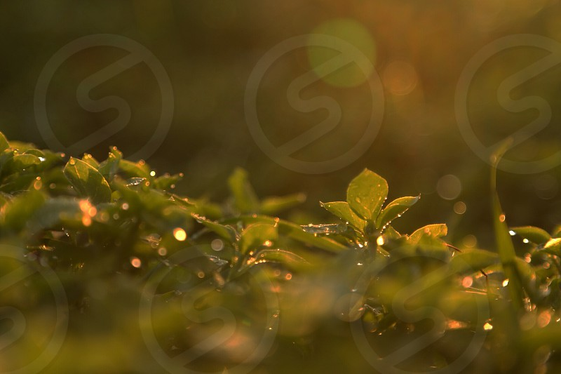Chickweed with water droplets touched by the light of the sunset.  photo