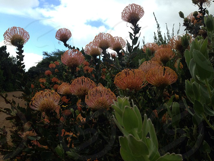 Protea flowers South Africa  photo