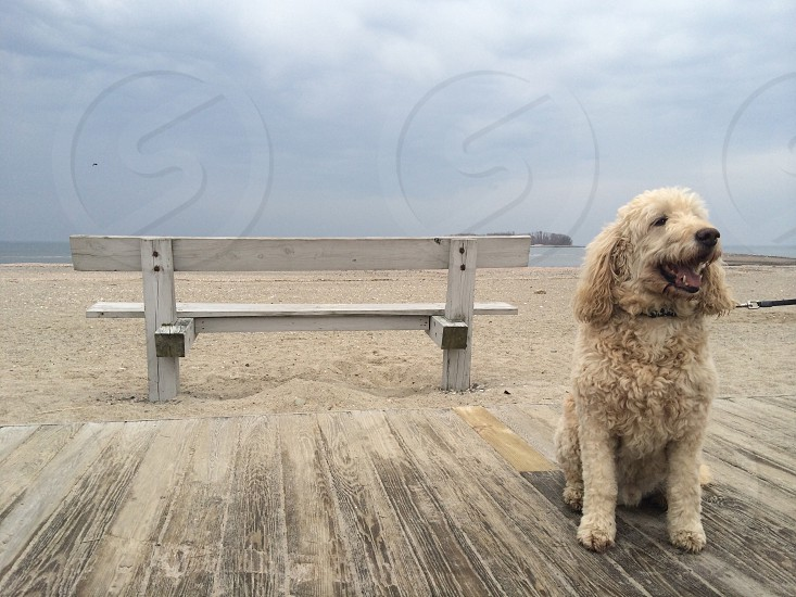 brown poodle on gray wood photo
