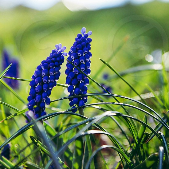 Botany botanical freshness  blooming  field spring flowers blue growth photo