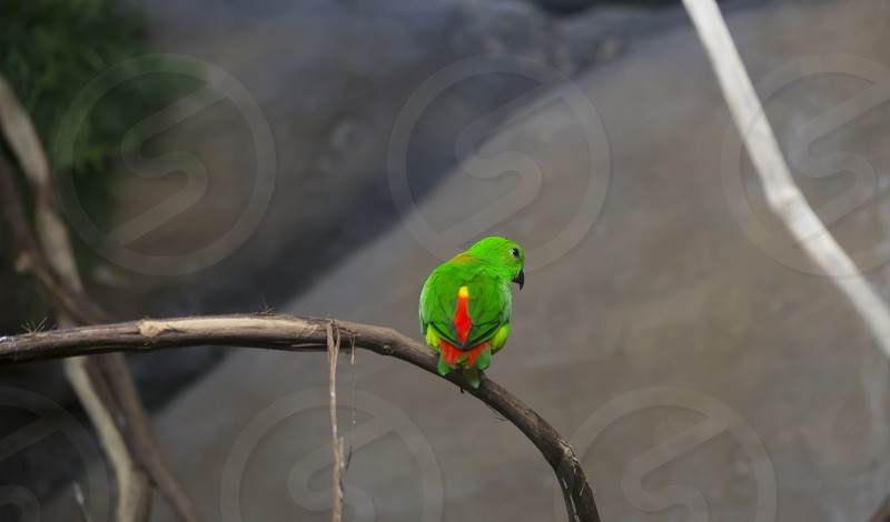 Blue-crowned lorikeet perched on a thick vine facing away photo