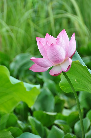 Lotus has the ability to rise from the mud bloom out of the darkness and radiate into the sky photo