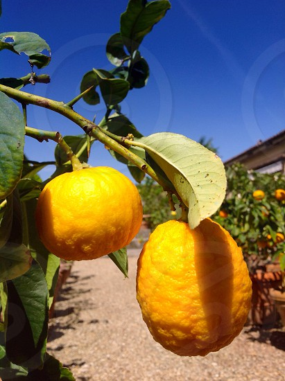 Lemons in Italian garden photo