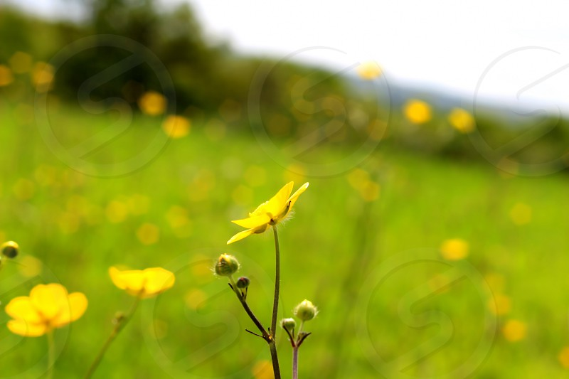 yellow petaled flower field on green grass open field under white clouds daytime photo