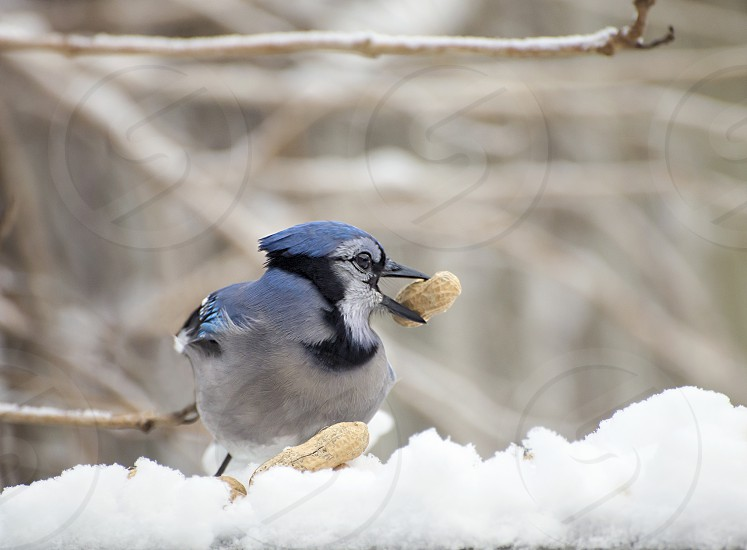 Close up of a blue jay in the snow with a peanut in its beak. photo