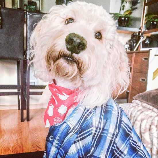 Goldendoodle in plaid and red bandana photo