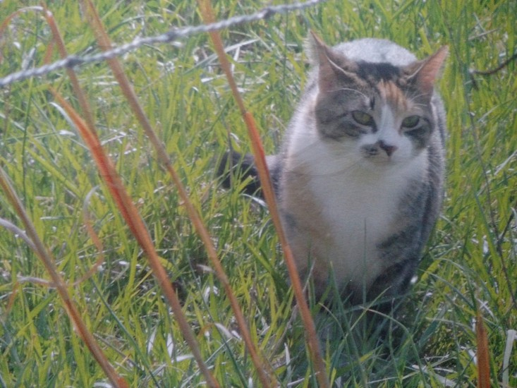 My cat Rudy got to go out today. Enjoying herself in the tall grass photo