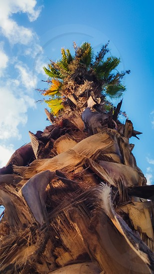 Date palm tree from below. photo